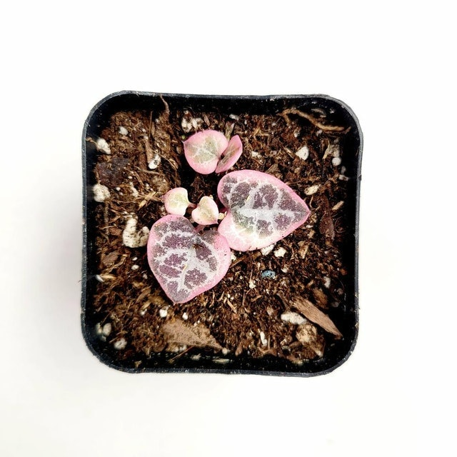 Succulents Depot Ceropegia woodii Variegated String of Hearts 1