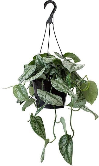LiveTrends Design Hanging Basket Pothos Scindapsus 1