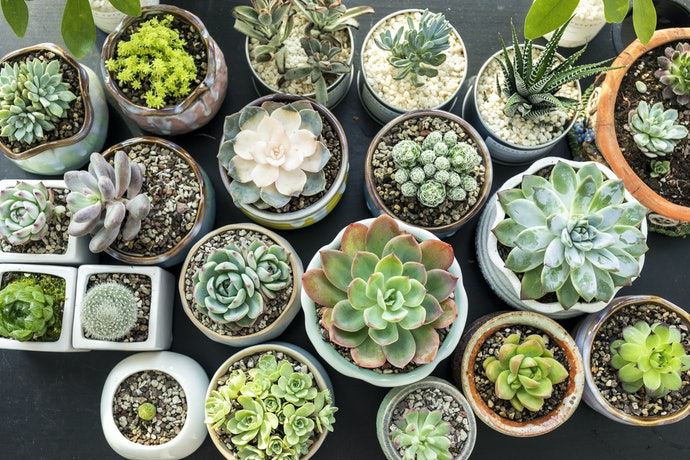 Buy Your Succulents in the Right Season and Condition
