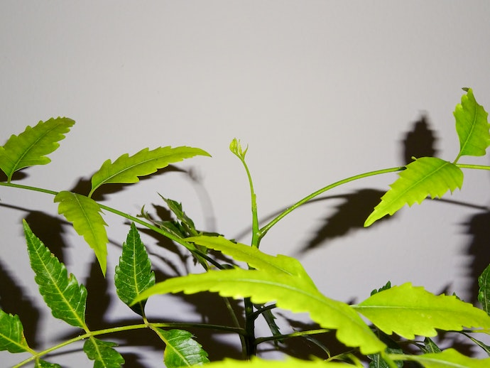 Neem Oil Has Conflicting Evidence