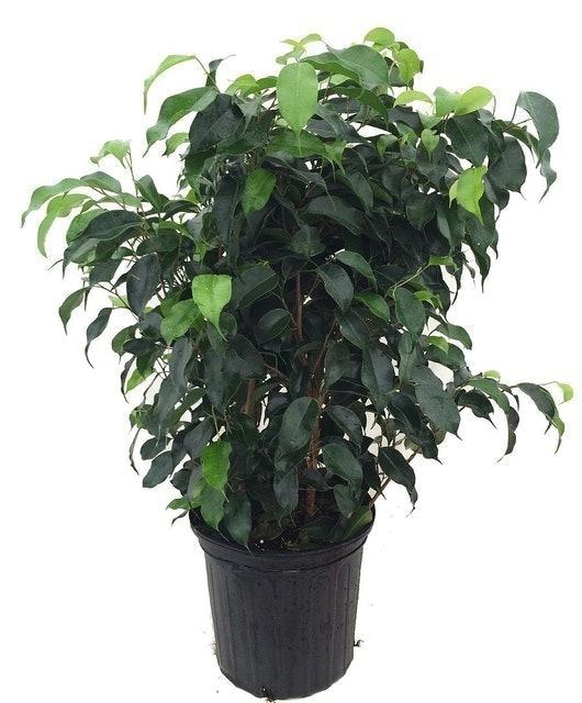 Hirt's Gardens Wintergreen Weeping Fig Tree (Ficus benjamina) 1