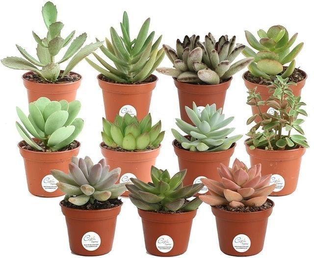 Costa Farms Unique Indoor Succulents Pack 1