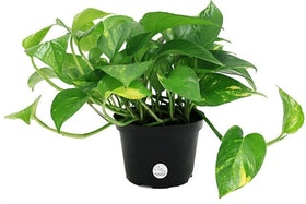 Top 10 Best Indoor Plants for Air Quality in 2021 (Hirt's Gardens, JM Bamboo, and More) 5