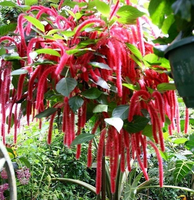 Hirt's Gardens Chenille Firetail Plant (Acalypha pendula) 1