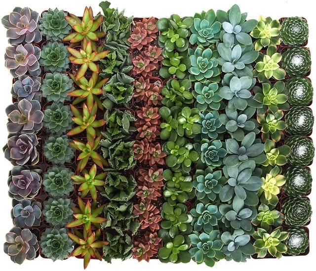 Shop Succulents Indoor Succulent Variety 1