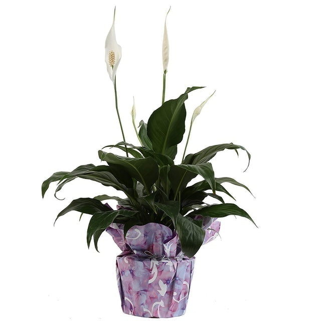 Costa Farms Peace Lily (Spathiphyllum) 1