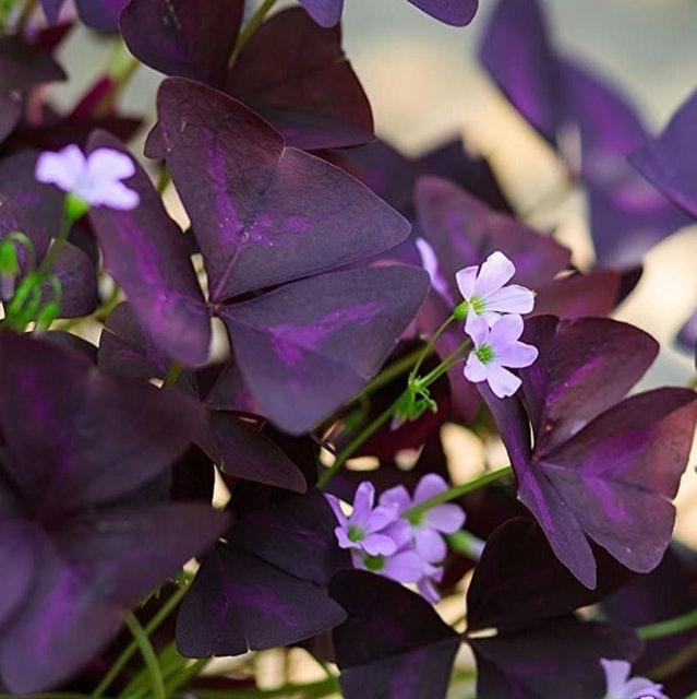 MAXVITAVELA Purple Shamrocks (Oxalis Triangularis) 1