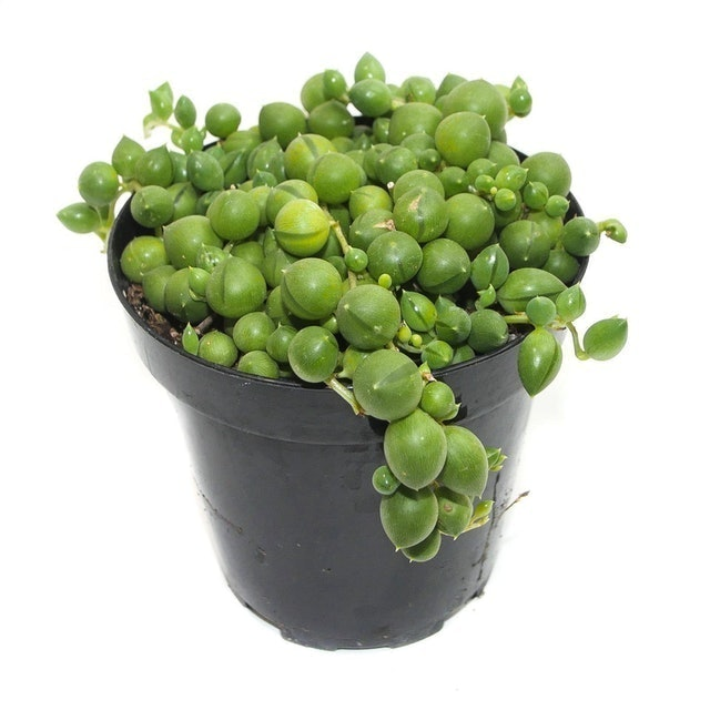 lazygardens String of Pearls Succulent 1