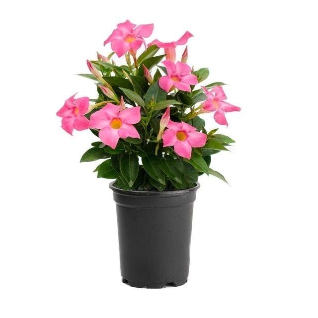 American Plant Exchange Dipladenia (Mandevilla Sanderii) 1
