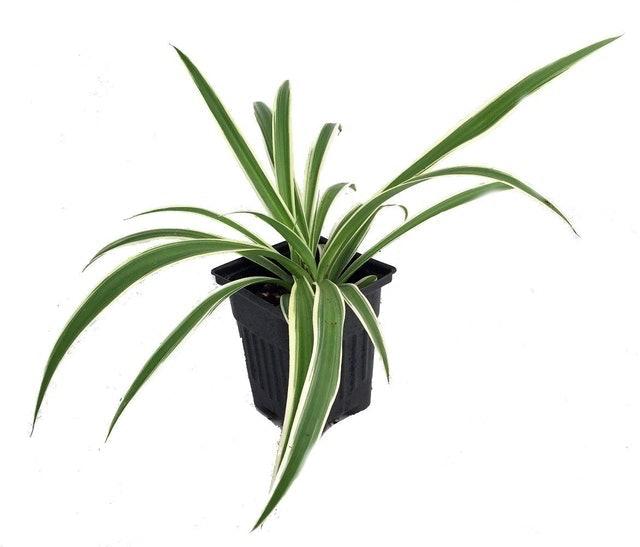 Hirt's Gardens Reverse Variegated Spider Plant (Chlorophytum comosum) 1