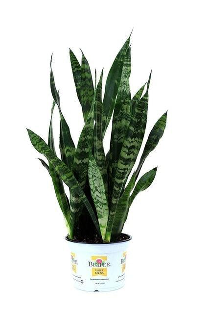 Burpee Black Coral Snake Plant (Sansevieria trifasciata) 1