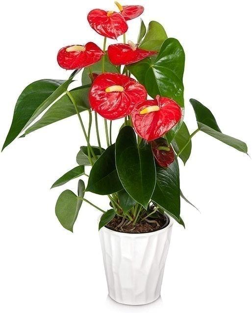 Just Add Ice Red Anthurium (Anthurium andraeanum) 1