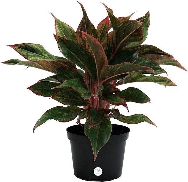 Costa Farms Red Chinese Evergreen (Aglaonema commutatum) 1