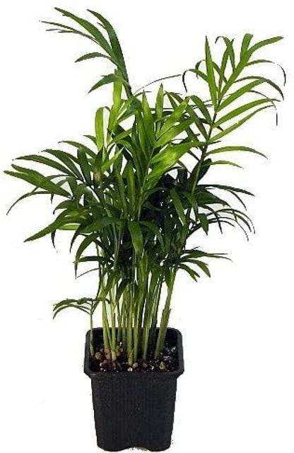Hirt's Gardens Victorian Parlor Palm (Chamaedorea elegans) 1