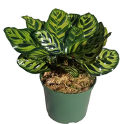 Top 10 Best Cat-Safe Indoor Plants in 2021 (Home Depot, Brussel's Bonsai, and More)